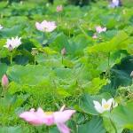 桃園觀音蓮花季